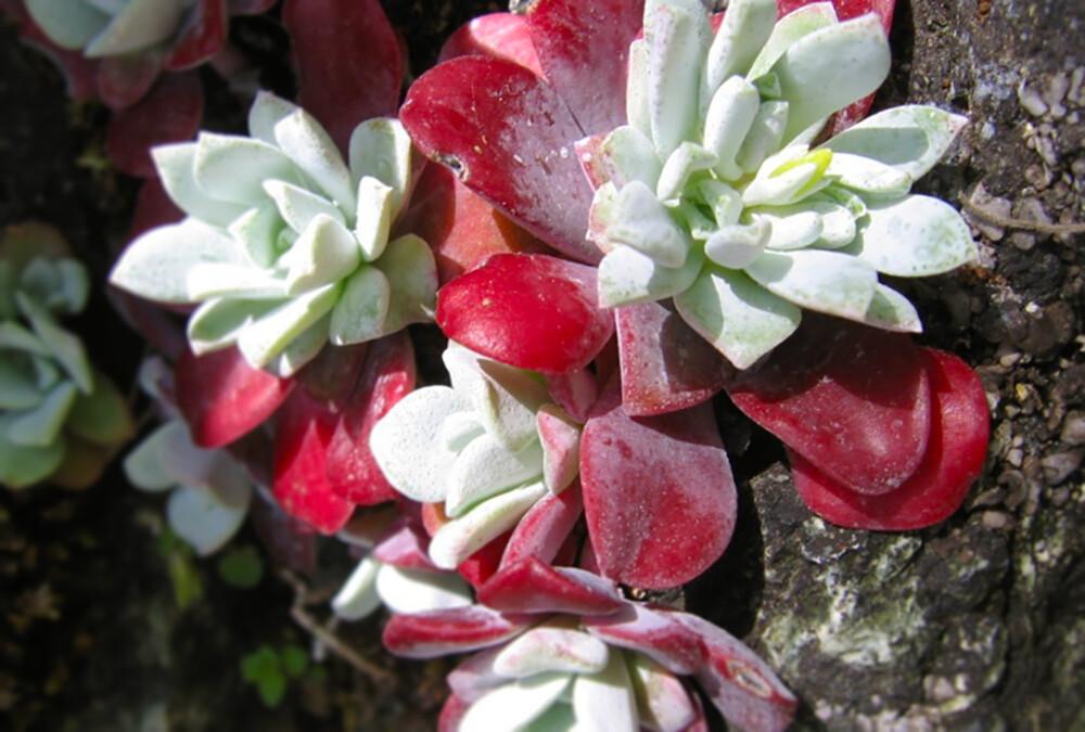 sedum-spathulifolium